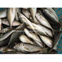 Новая рыба Японская скумбрия
