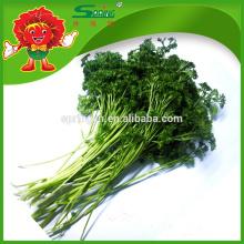 2015 Persil frais Persil Légumes surgelés Aliment vert biologique