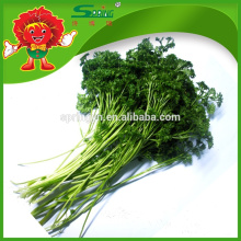 2015 Fresh vegetable parsley frozen vegetables organic green food