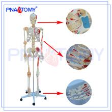 PNT-0103N Deluxe nummeriert Skelettmodell mit Band und Muskeln, medizinische Lehre