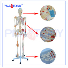 PNT-0103N Modelo esqueleto numerado de lujo con ligamento y músculos, enseñanza médica