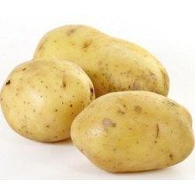 Новое качество урожая для продажи Holland Potato