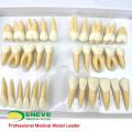 TOOTH06 (12578) Conjunto de Modelo de Estudo Dental Humano de Dentes Permanentes Individuais