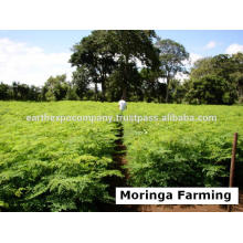 Moringa from India
