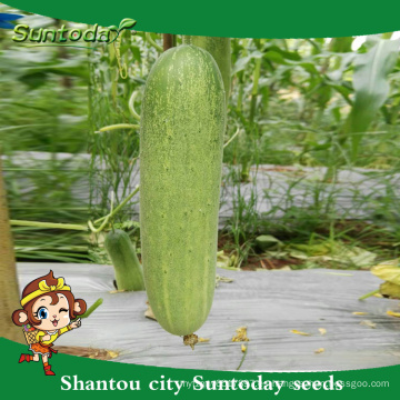 Suntoday green vegetable power hybrid F1 Plantador orgánico para semillas de pepino de invernadero