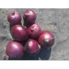 Prix des oignons frais en Chine