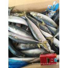 frozen pacific mackerel for canned fish