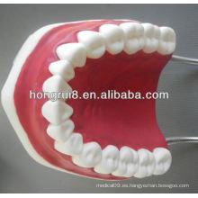 Nuevo modelo de cuidado médico dental modelo, dientes dentales