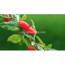 conventional goji berries 180 wolfberries