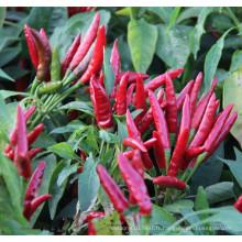 HP17 Zilu très chaud, F1 hybride graines de piment / piment dans les graines de légumes