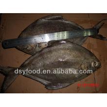 Gefrorenes schwarzes pomfret Fisch ganz rund