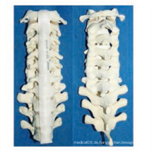 Medizinisches menschliches Vertebra-Skelettmodell (R010109)