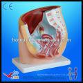 Anatomical female pelvis model, teaching female pelvis model