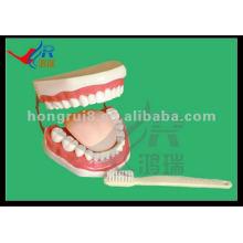 HR-403A New Style School Dientes de demostración educativos y modelos dentales (32 dientes)