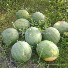 W01 New one big size f1 hybrid seedless watermelon seeds