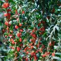 Родные Травы Дерезы Ягоды Годжи