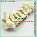 WHOLESALE SIMULATION BONE 12312 Medical Anatomy Artificial Cervical Spine , Orthopaedics Practice Simulation Bone