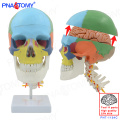 PNT-1154C Plastic Human 8 Parts Detachable Brain colored Skull Model