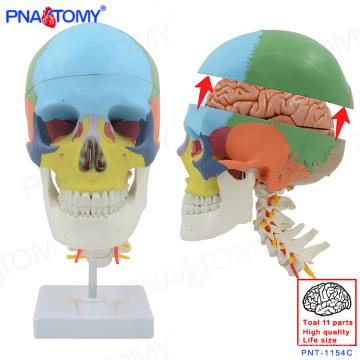 PNT-1154C Plastic Human 8 Teile abnehmbare Gehirn farbigen Schädel Modell