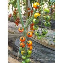 TY03 Huangjin f1 híbrido rodada tomate cereja amarelo sementes de estufa plantio