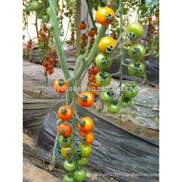 TY03 Huangjin f1 hybrid round yellow cherry tomato seeds greenhouse planting