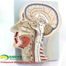 BRAIN02 (12399) Modelo avanzado de la sección cerebral, 53 posiciones mostradas del cerebro