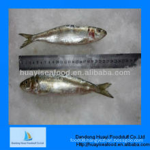Supply canned use best fresh frozen sardine in sale
