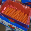 New Harvest of Good Quality Fresh Carrot