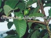guava leaf/ fruit for lowing blood sugar