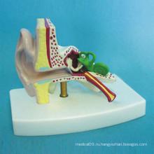 Медицинская обучающая модель человеческой анатомии уха (R070106)