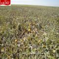2017 nuevos beneficios de salud al por mayor de las semillas de calabaza crudas de la cosecha