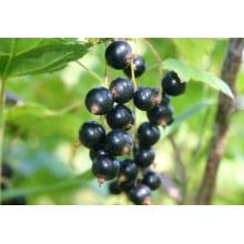 Black Currant Extract Anthocyanins