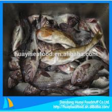 Peixe fresco greenling congelado com fornecedor superior
