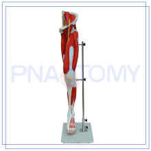 PNT-0332 Modèle de muscle de la jambe humaine grandeur nature