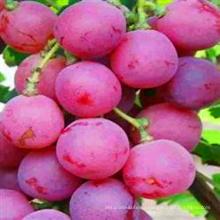 свежий красный глобус винограда на экспорт в Индию