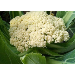 Delicious And Nutritious Cauliflower
