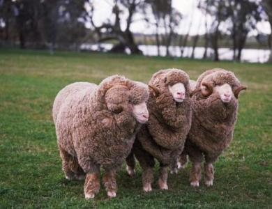 Merino sheepskin