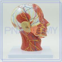 PNT-1631 anatómica modelo de cabeza humana para el hospital