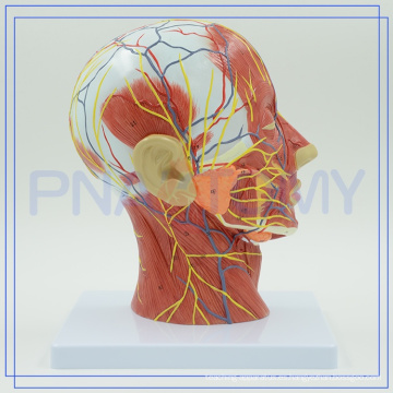 PNT-1631 anatomía de la cabeza humana China fabricante
