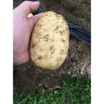 Fresh Good Qulality Potato