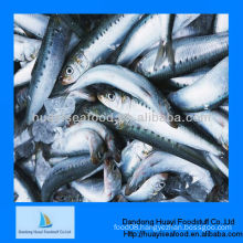 good quality frozen sardine