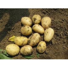 Patata fresca holanda