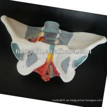 Modelo pelviano de la ISO, modelo de la pelvis de la hembra adulta