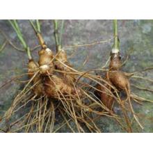 Langehead Atractylodes Extrait de rhizome