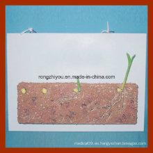 Desarrollo y Crecimiento Modelo demostrativo de una semilla de maíz, estilo colgante