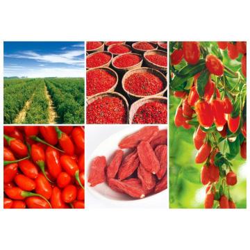 Berry orgánico de Goji de Ningxia