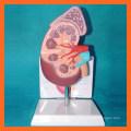 Медицинская анатомия