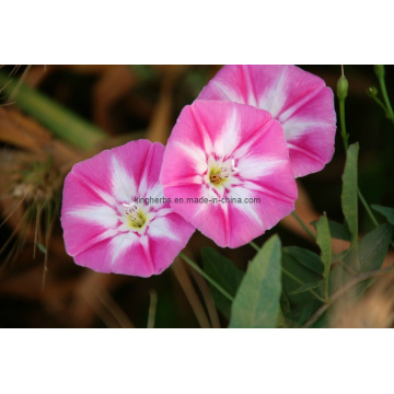 Field Bindweed Extract 4: 1