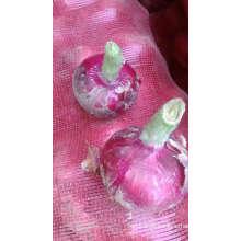Importateurs d'oignons en singapour prix de l'oignon 1 kg