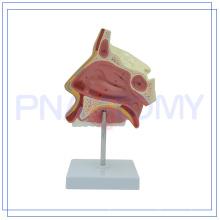 PNT-0436 hochwertige wissenschaftliche Modelle NASAL Hohlraum für den medizinischen Einsatz